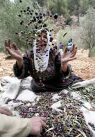 Olives being harvested for Zaytoun in Palestine