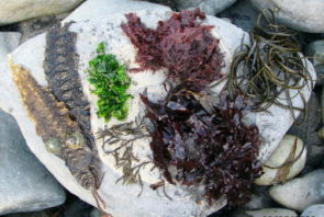 There are many different types of edible seaweed